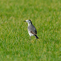 Wagtail - White Wagtail