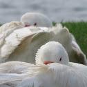 Australian Settler Geese