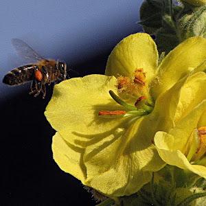 pčela radilica.jpg