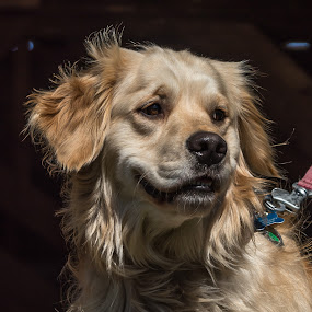 Dixie by Mike Watts - Animals - Dogs Portraits ( dog )