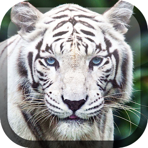 Valkoinen Tiikeri Taustakuva APK