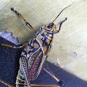Eastern lubber grasshopper - adult