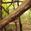 Cicada (shed)