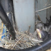 House Sparrow chick