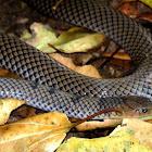 Reticulated centipede-eater