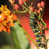 monarch caterpillar & Asclepias curassavica