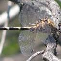 Gray Sand-dragon dragonfly