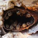 Sweat bee, Stingless bee, Meliponini