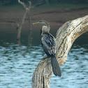 darters or snakebirds