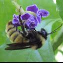 American Bumblebee     male