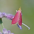 Inornate pyrausta moth