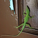 Carolina or Green Anole