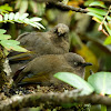 Elliot's laughingthrush