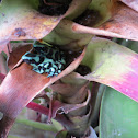 Black and Green Poison Dart Frog Or Mint Poison Frog