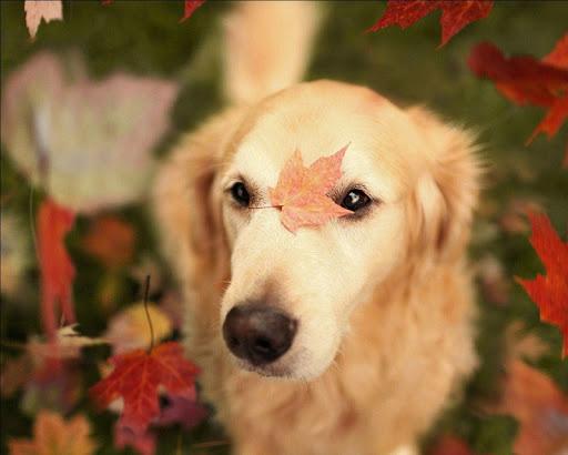 金毛尋回犬壁紙
