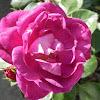 Lincoln Rose