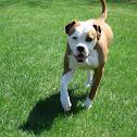 American Bulldog (old southern white bulldog)