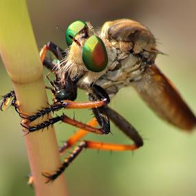 Robberfly #3 by Hindra Komara - Animals Insects & Spiders ( pwcinsectsandspiders, animals, macro, nature, macro photography, insect, animal,  )