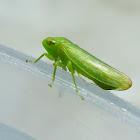 Auchenorrhyncha Bug