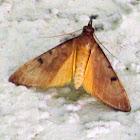 Genista Broonm Moth