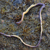 Yellow-bellied Ribbon Worm
