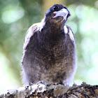 Juvenile Australian Magpie