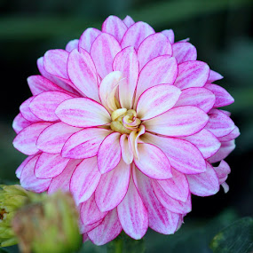 Pink Dahlia by Sherri Woodbridge - Flowers Single Flower ( single, petals, fall, bloom, dahlia, flower,  )