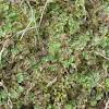 Liverwort plant