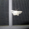 Inchworm Moth