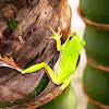 Farmland Tree Frog