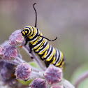 Monarch Caterpillar