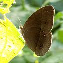 Lilacine Bush Brown (Dry Season Form)