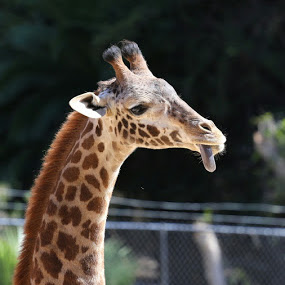 giraffe by Elvis Gutierrez - Animals Other Mammals (  )