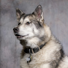 You have my attention by Jack Brittain - Animals - Dogs Portraits ( pet, husky, dog, portrait, animal )