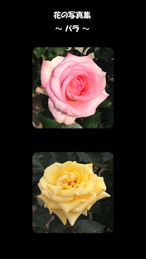 花の写真集 バラ