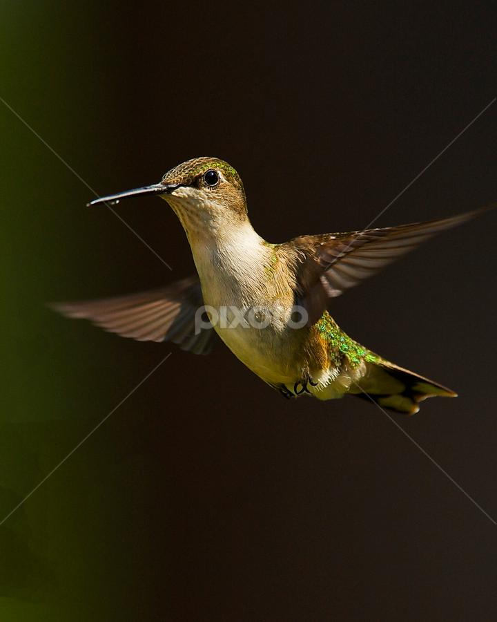 Sunshine by Roy Walter - Animals Birds ( flight, animals, nature, hummingbird, wildlife, birds )