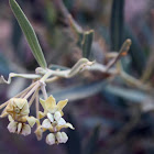 Sinai Milkweed