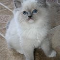 Big City Ragdoll Kittens icon
