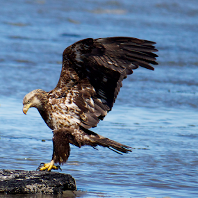 Landing by Ava Bethlenfalvy-Pitts - Animals Birds ( eagle, landing, alaska )