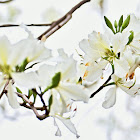 White Bauhinia (白花羊蹄甲)