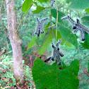 Angus's Datana Moth