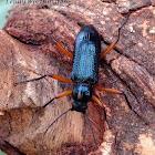 Red-legged Darkling Beetle