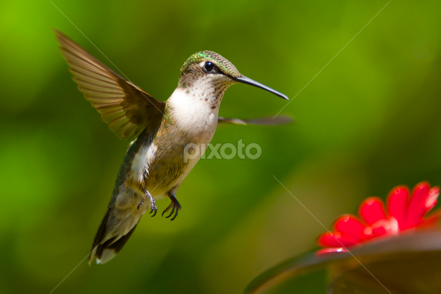 Yum, Food! by Roy Walter - Animals Birds ( flight, animals, hummingbird, wildlife, birds )