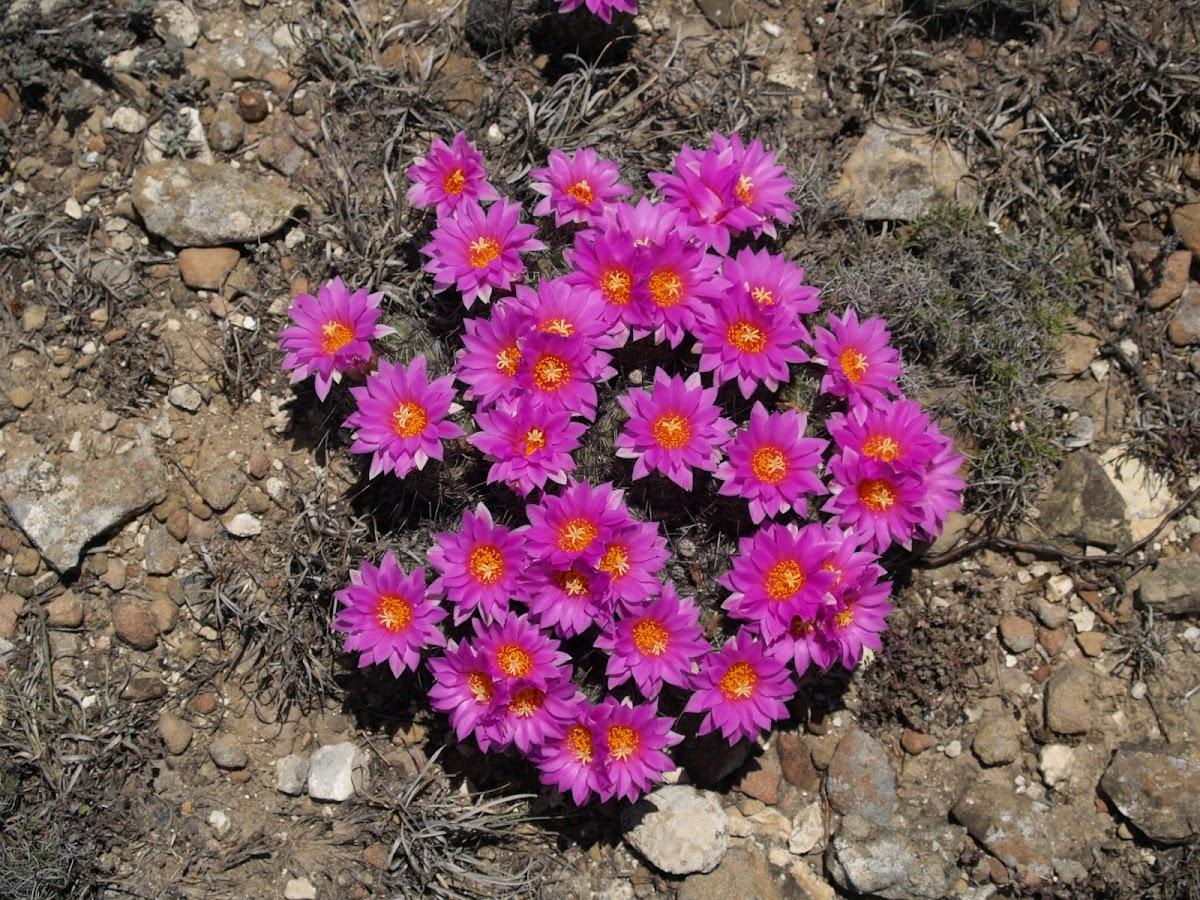 Texas Cone Cactus