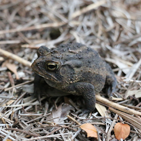 Old Toad by Lynn Morley - Uncategorized All Uncategorized ( grasses, pose, old, warts, green, fat, toad )