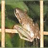 Asian Common Tree Frog