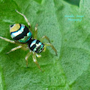 Banded Phintella Jumping Spider(Female)