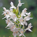 White Fringed-orchid