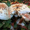 Green-spored Lepiota Mushroom