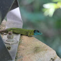 Iberian emerald lizard or Schreiber's green lizard or Lagarto de Água